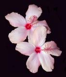 Hibiscus cor-de-rosa no preto Fotografia de Stock Royalty Free