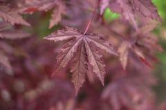hibiscus da Vermelho-folha Foto de Stock Royalty Free