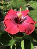 Hibiscus in de de zomerzon Stock Foto
