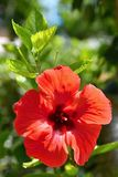 Hibiscus de florescência vermelho bonito Sabdariffa do hibiscus, hibiscus esculentus Fotografia de Stock