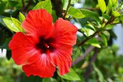 Hibiscus de florescência vermelho bonito Sabdariffa do hibiscus, hibiscus esculentus Foto de Stock Royalty Free