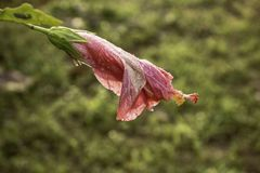 Hibiscus in de Vroege Ochtenddauw royalty-vrije stock foto's