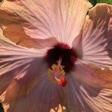 Hibiscus in de zonclose-up Stock Foto