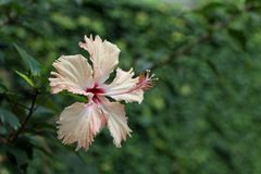 Hibiscus decorativo da cor dos salmões da flor foto de stock
