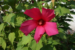Hibiscus deep burgundy big flower and buds Royalty Free Stock Images