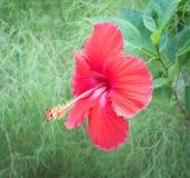 Hibiscus in der Blüte Lizenzfreie Stockbilder