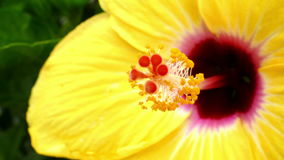 Hibiscus detail. stock footage