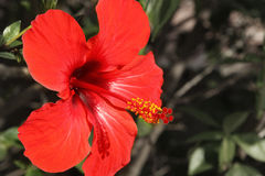 Hibiscus. A detail observation in a spanish garden Royalty Free Stock Images