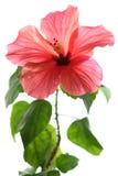 Hibiscus die op witte backgr wordt geïsoleerd Stock Foto's