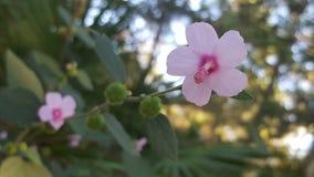 Hibiscus do bebê Fotografia de Stock