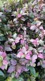 Hibiscus do floco de Rosa Foto de Stock