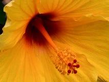 Hibiscus dourado com centro carmesim fotografia de stock royalty free