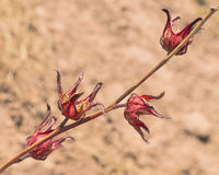 Hibiscus. Dried Hibiscus flowers in its entirety in the environment in Gambia . Africa Stock Photo
