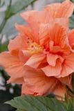 Hibiscus - Dubbele Perzik Royalty-vrije Stock Foto