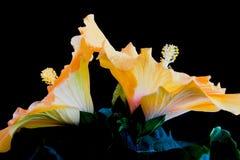 Hibiscus Duet Royalty Free Stock Image