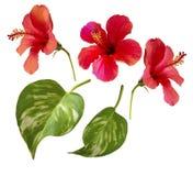 hibiscus Einzelne Elemente lokalisiert auf Weiß Lizenzfreie Stockfotografie