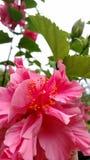 Hibiscus em Havaí Fotos de Stock Royalty Free