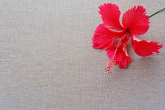Hibiscus and emptiness Stock Image