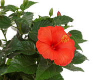 Hibiscus. Exotic flower photographed in studio Stock Photos