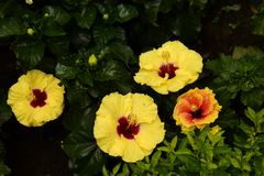 Hibiscus Fam; Malvaceae. Blooming colourfully and decorating Ho Chi Minh City, here in Vietnam Stock Image