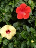 Hibiscus Fam; Malvaceae. Blooming colourfully and decorating Ho Chi Minh City, here in Vietnam Royalty Free Stock Image