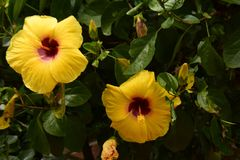 Hibiscus Fam; Malvaceae. Blooming colourfully and decorating Ho Chi Minh City, here in Vietnam Royalty Free Stock Photos