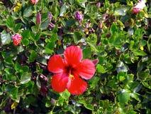 Hibiscus, flor vermelha, Rosa de Sharon, detalhe Fotografia de Stock