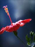 Hibiscus flower Stock Photos