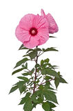 Hibiscus Flower. Isolated on White Background Royalty Free Stock Photo