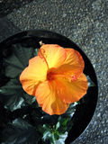 Hibiscus Flower. Orange Hibiscus Flower Royalty Free Stock Photography