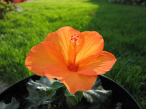 Hibiscus flower. Orange hibiscus flower in blossom Royalty Free Stock Photos