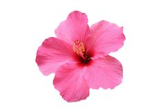 Free Hibiscus Flower Stock Photo - 12171550