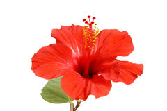 Hibiscus flower. Red hibiscus flowers on a white background with space for text Stock Photo