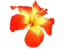 Free Hibiscus Flower Royalty Free Stock Photos - 14515538
