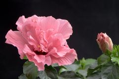 Hibiscus flower. Pink hibiscus flower on a black background Stock Image