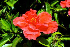 Hibiscus Flower. A bright coral-colored hibiscus blossom bathed in sunlight Royalty Free Stock Photos