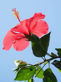 Hibiscus flower. A red hibiscus flower facing the sky Stock Image