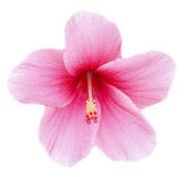 Hibiscus flower. Fully developed hibiscus flower against white background stock images