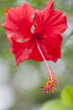 Hibiscus flower. Front view of a Red Hibiscus from Malaysia Royalty Free Stock Photos