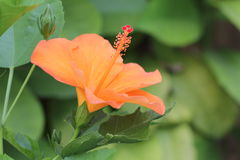 Hibiscus Flower. Beautiful Hibiscus Flower with macro closed up Royalty Free Stock Image