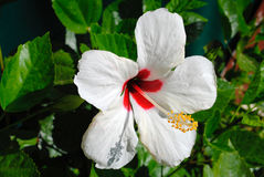 Hibiscus flower Stock Photography