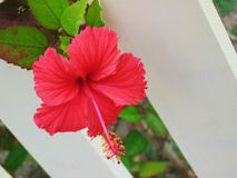 Hibiscus Flower. Close up / macro of red hibiscus flower peeking through painted fence stock photo