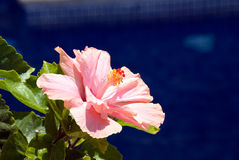 Hibiscus Flower. By the swimming pool stock image
