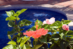 Hibiscus Flower. Hibiscus by the swimming pool royalty free stock image