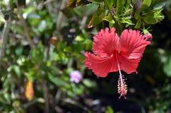 Hibiscus flower royalty free stock photos