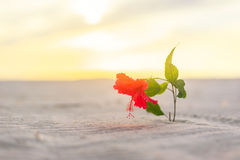 Hibiscus flower alone in the desert Royalty Free Stock Image