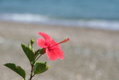 Hibiscus flower by the Beach Stock Image