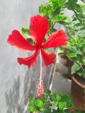 Red lovers ,from garden. Hibiscus is a flower .it is a beautiful flower. hibiscus is commonly of red colour   . The hibiscus is a national symbol of Haiti stock photos