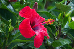 Hibiscus Flower. Beautiful hibiscus flower on a green background Royalty Free Stock Photo