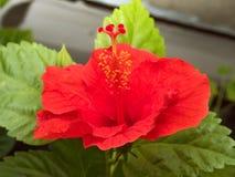 Hibiscus flower Stock Photography